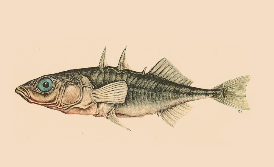 Threespine stickleback fish