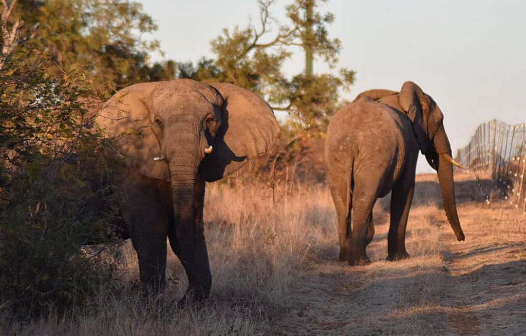 Elephants at Dinokeng Game Reserve in South Africa